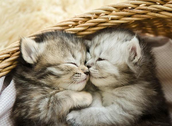 dermatite-atopique-chat-lexmoor